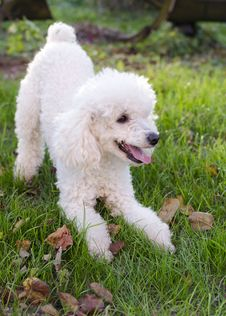 Free Poodle Dog Royalty Free Stock Images - 34948159