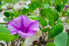 Free Ipomoea Flowers Royalty Free Stock Photography - 34952307