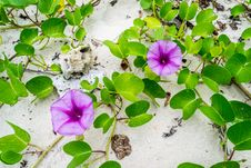 Free Ipomoea Flowers On The Beaches Stock Image - 34952591