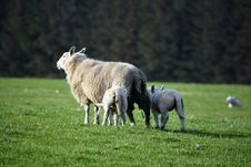 Free Scottish Sheep Royalty Free Stock Image - 34957136