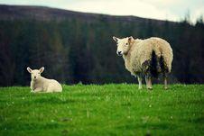 Free Scottish Sheep Stock Image - 34959081