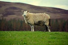 Free Scottish Sheep Stock Photo - 34959350