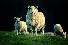 Free Scottish Sheep Stock Images - 34959484