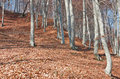 Free Beech Forest Landscape Royalty Free Stock Images - 34960519