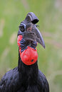 Free Hornbill Bird Stock Photography - 34966552