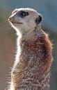 Free Meerkat Royalty Free Stock Images - 34966949