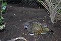 Free Kea Parrot Royalty Free Stock Photos - 34969388