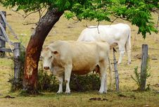Free White Brahman Breed Cow Rubbing On Tree Trunk Bark Stock Images - 34962104