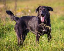 Free Black Dog Royalty Free Stock Photos - 34964358