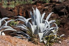Agave Americana Cactus Royalty Free Stock Photo