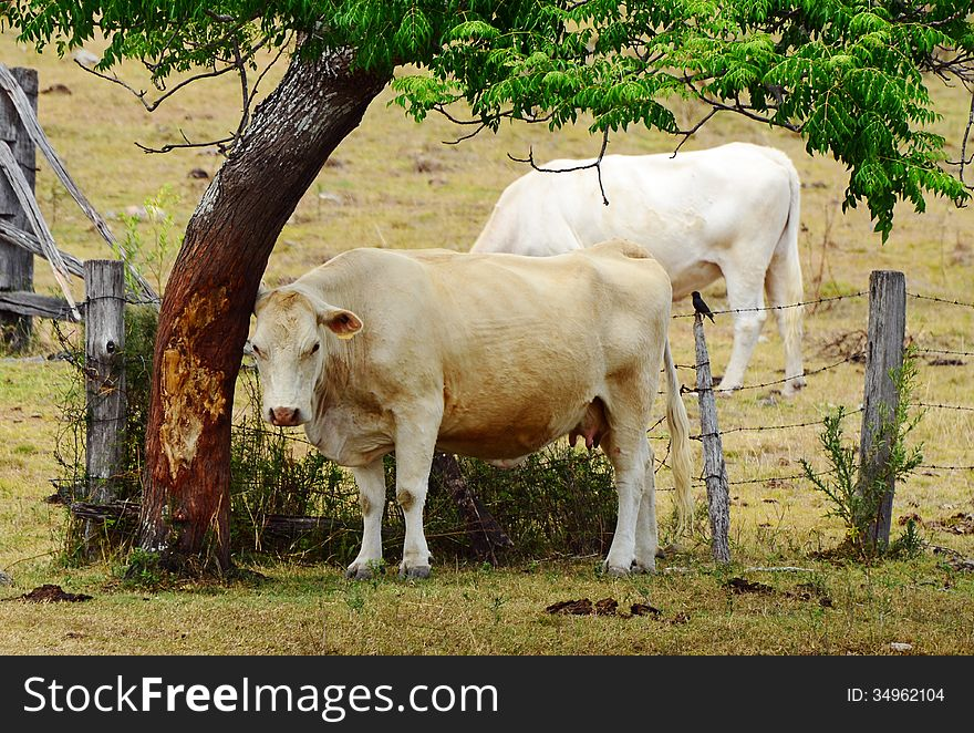 White Brahman breed cow rubbing on tree trunk bark