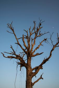 Dry Tree. Royalty Free Stock Image