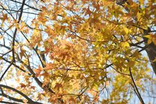 Free Leaf Of Maple Tree Stock Photo - 34974310