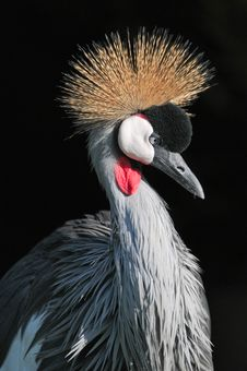 Free Grey Crowned Crane Of South Africa Stock Photos - 34976383