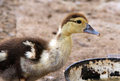 Free Duckling Stock Image - 34983431