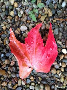 Free Red Leaf Royalty Free Stock Image - 34983366