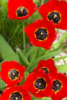 Free Red Tulips Stock Images - 34989254