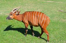 Free Antelope Bongo Stock Photo - 34996210