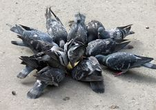 Free Pigeons Stock Photos - 350103