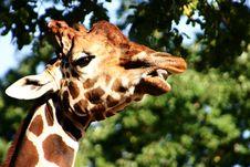 Free Giraffe Royalty Free Stock Image - 350146