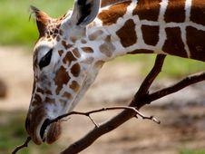 Free Baby Giraffe Stock Images - 351764