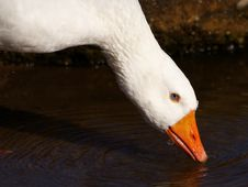 Free Drinking Goose Royalty Free Stock Image - 351766