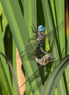 Free Dragon Flies Royalty Free Stock Photo - 353935