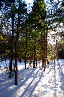 Free Winter Pines Royalty Free Stock Image - 355126
