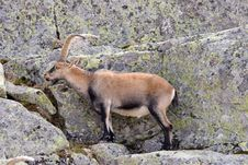 Free Mountain Goat Royalty Free Stock Photo - 355955