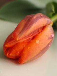 Free Tulip Stock Photo - 356450