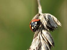 Free Ladybird, Ladybug, Coccinella Septempunctata Royalty Free Stock Images - 357379