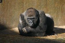 Gorilla Funk Stock Images