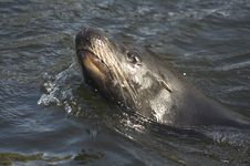Free Seal Royalty Free Stock Image - 359116