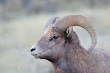 Free Bighorn Sheep Stock Image - 359491