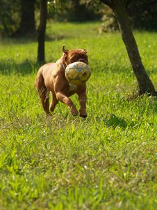 Free Dog The Bordeaux Stock Photo - 3500040