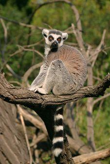 Free Lemur Kata Stock Images - 3500344