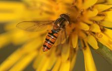 Free A Hoverfly In Late October Stock Photos - 3500853
