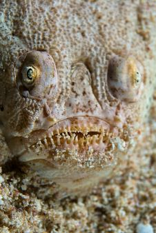 Free Ugly Looking Fish Royalty Free Stock Photography - 3501237