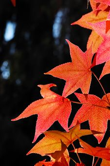 Free Maple Leaves Royalty Free Stock Photography - 3502117