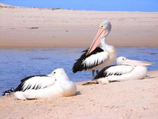 Free Torrens Pelicans 2 Royalty Free Stock Photo - 3502155