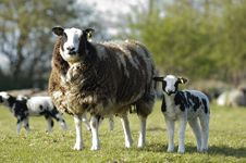 Free Lamb With Mother 54 Stock Photos - 3502433