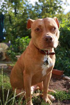 Free Americanbulldog1 Royalty Free Stock Image - 3502816