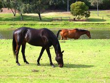 Torrens Horses 3 Stock Photography