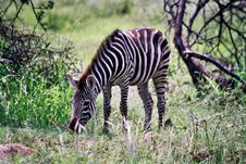 Free Zebra Baby Royalty Free Stock Photography - 3504157