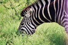 Zebra Chew Royalty Free Stock Images