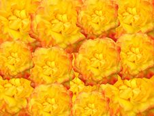 Free Yellow Roses For Decoration Stock Photography - 3504632