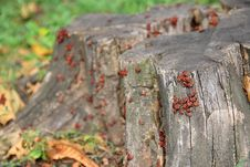 Free Colony Of Fire Bugs Stock Image - 3505561