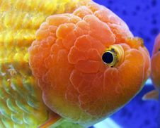 Lion Head Goldfish Closeup Royalty Free Stock Image