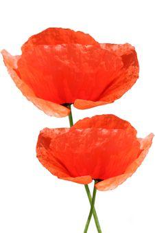 Free Red Poppy On White Royalty Free Stock Photo - 3506005