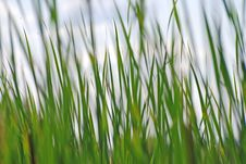 Free Reeds Background Stock Images - 3506144
